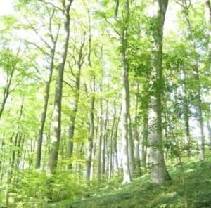 Buchen-Wald